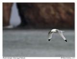 Mouette tridactyle  Black legged Kittiwake