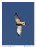 Petite Buse  Broad-winged Hawk