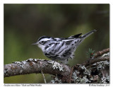 Paruline noir et blanc - Black and white warbler