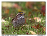 Bruant à gorge blanche  White-throated Sparrow