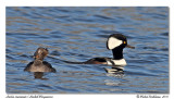 Harles couronnés  Hooded Mergansers