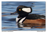 Harle couronné  Hooded Merganser