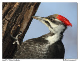 Grand Pic  Pileated Woodpecker