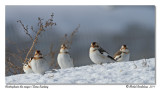 Plectrophanes des neiges  Snow Buntings