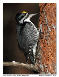 Pic à dos noir - Black-backed Woodpecker