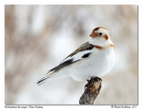 Plectrophane des neiges  Snow Bunting