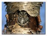 Petit duc maculé - Eastern screetch owl