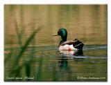 Canard colvert - Mallard