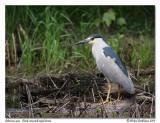 Bihoreau gris  Black crowned night heron