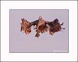 Brown Pelican  _MG_2284--Small.jpg