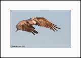 Brown Pelican   _MG_3931-Small.jpg