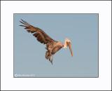 Brown Pelican  _MG_3900--Small.jpg