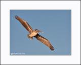 Brown Pelican   _MG_3920--Small.jpg