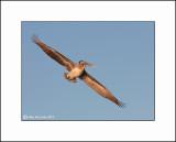 Brown Pelican  _MG_3919--Small.jpg