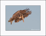 Brown Pelican  _MG_3899--Small-A.jpg