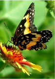 Butterfly 5-2007.jpg