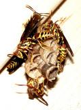 Paper Wasp Nest 11-27-08.jpg