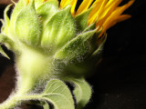 6-14-2010 Sunflower Decline 2.jpg