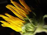 6-14-2010 Sunflower Decline 3.jpg