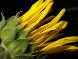 6-14-2010 Sunflower Decline 5.jpg