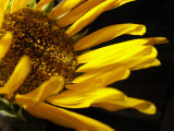 6-14-2010 Sunflower Decline 6.jpg