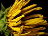 6-14-2010 Sunflower Decline 7.jpg