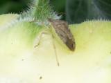 6-17-2010 Shield Bug on Sunflower.jpg
