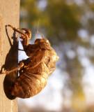12-20-2010 Cicada Skin.jpg