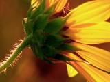 7-23-05 Sunflowers2.JPG