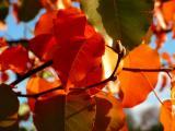 11-2005 Pear TreeZ2.JPG