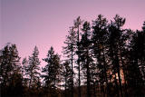Beautiful Trees of Vancouver Island 0162.JPG