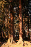 Stanley Park Trees.jpg