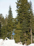 Grouse Mountain Trees and Snow.jpg