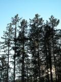 Vancouver Island Trees.jpg
