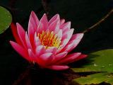 Water Lily Bloom  8-2005.jpg