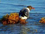 Feeding on Washed Up Seaweed 1.jpg