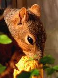 Red Squirrel at Feeder.jpg