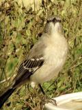 Mockingbird--Our State Bird  661.jpg