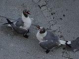 July 2006  Bonding Ritual of Laughing Gulls