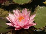 Pink Lily.jpg