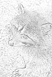 raccoon sketch.jpg