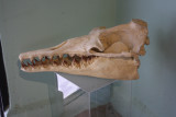 Megalodon Skull