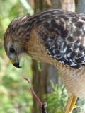 Red-shouldered Hawk eating a snake