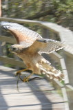 Red-shouldered Hawk with a snake