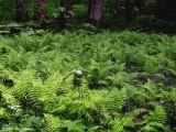 Ferns at Elkmont