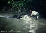 Bathing carabao in Agusan Marsh