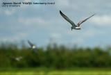 Agusan Marsh migratory birds