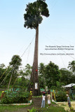 MAJESTIC TOOG: PHILIPPINE'S TALLEST LIVING CHRISTMAS TREE