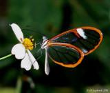 Artena Clearwing (Pteronymia artena)