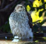 Cooper's Hawk at waterbath